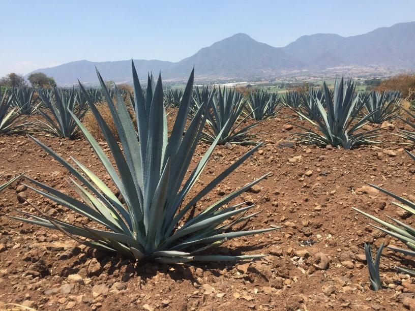 Agave in der Wüste Ahualulco de Mercado